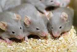 мыши - грызуны